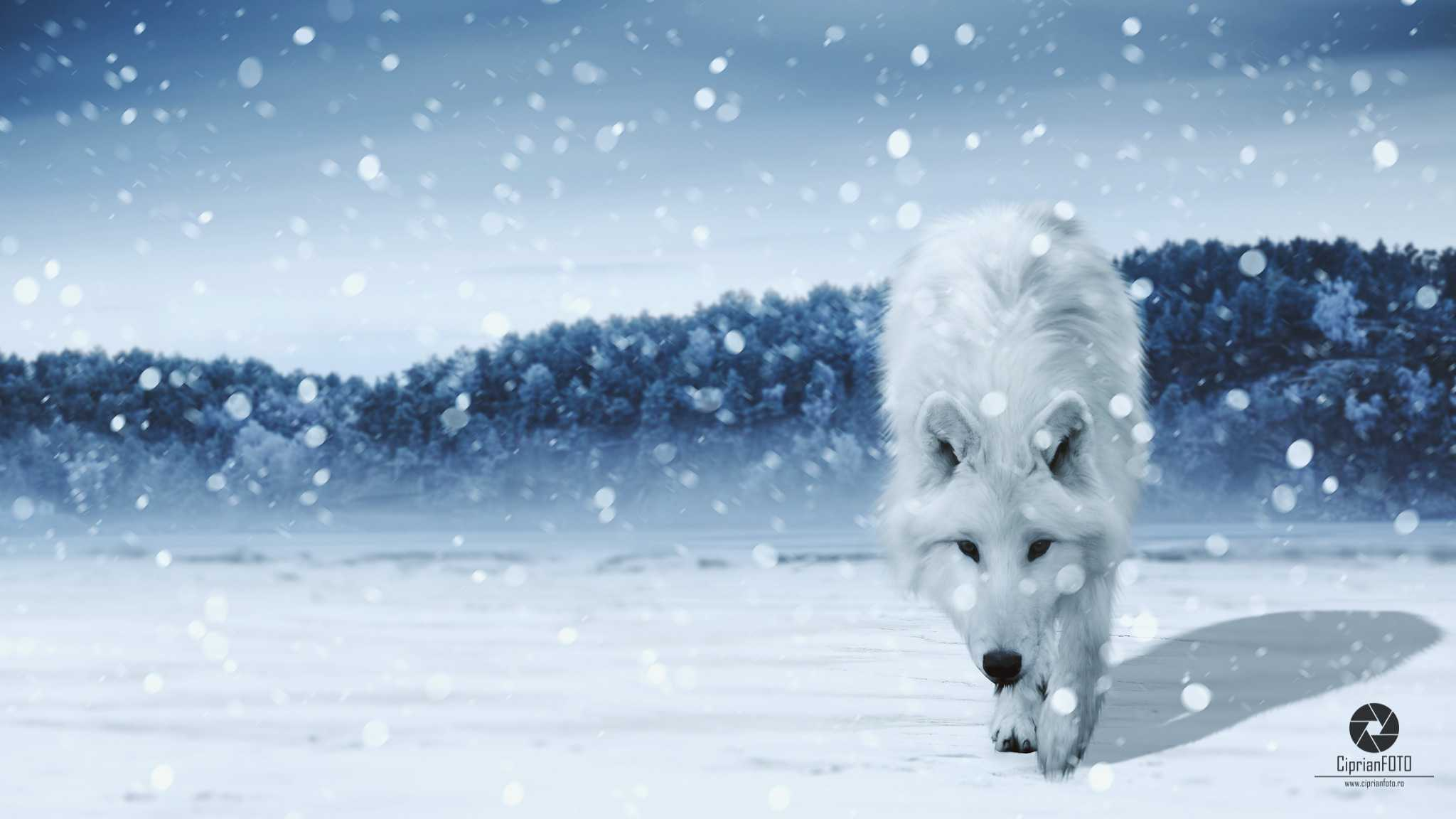 The White Wolf, Photoshop Manipulation Tutorial, CiprianFOTO