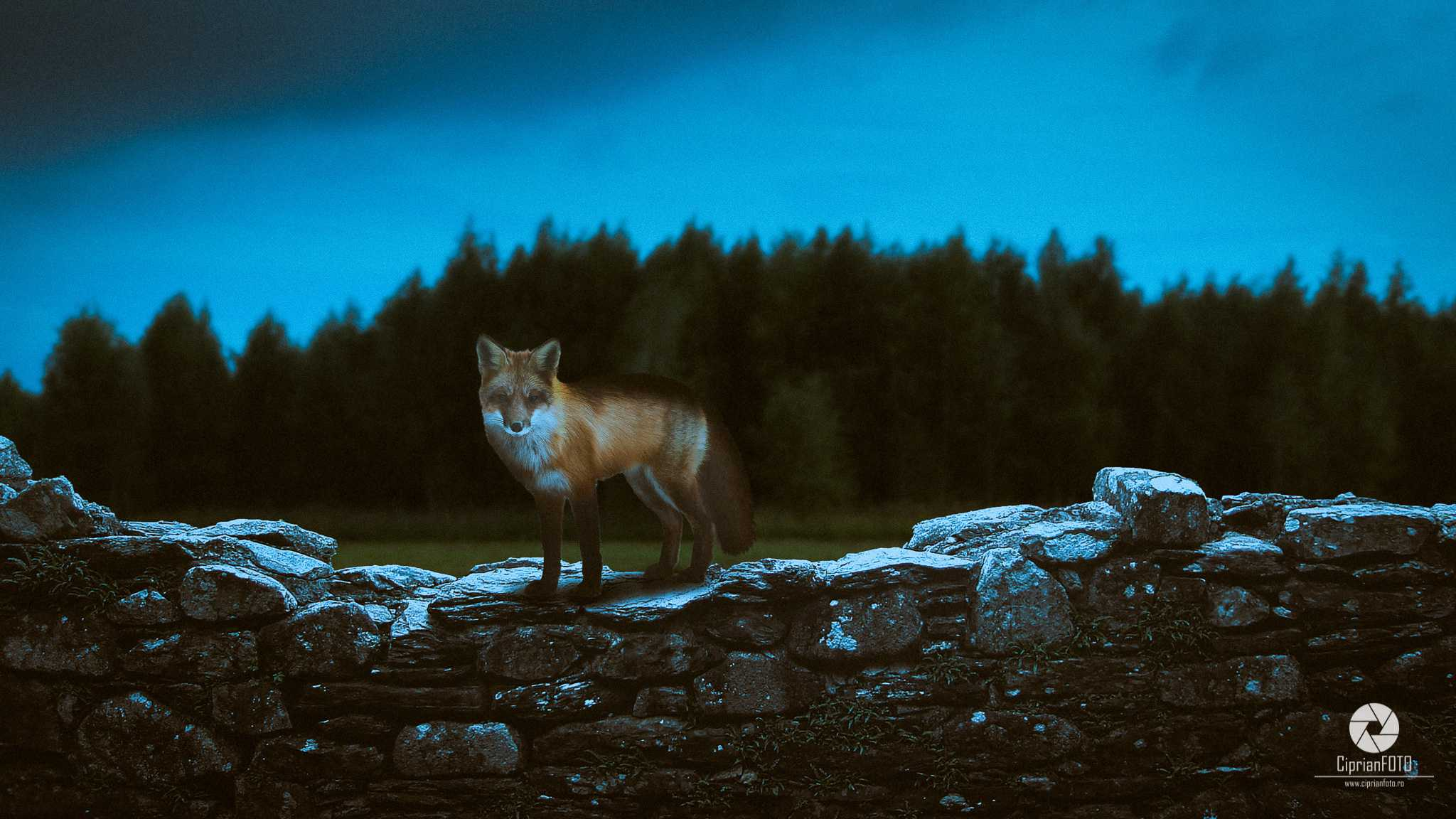 The Fox, Photoshop Manipulation Tutorial, CiprianFOTO