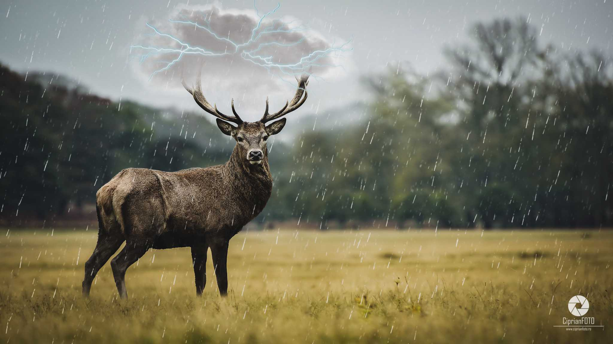 Deer, Photoshop Manipulation Tutorial, CiprianFOTO