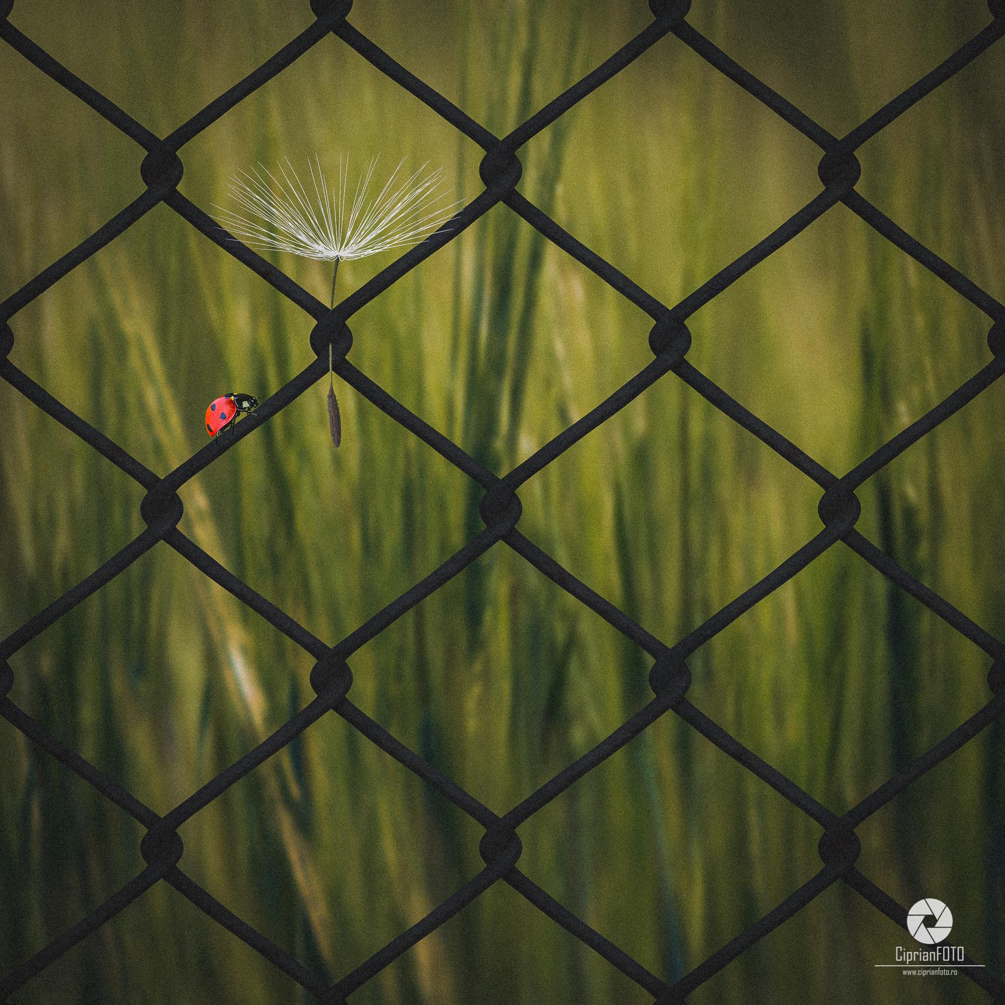 Photoshop Manipulation Tutorial, Ladybug On The Metal Fence, CiprianFOTO