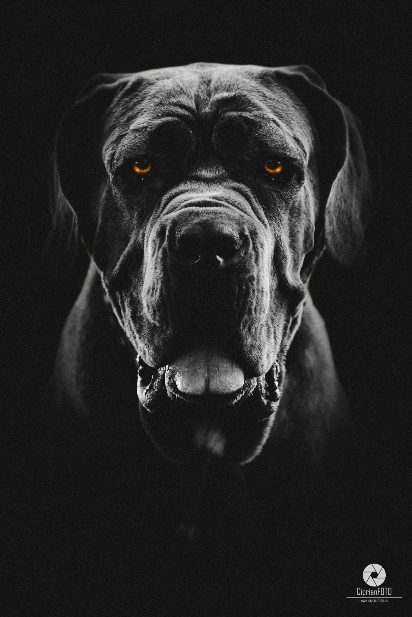 Neapolitan Mastiff Portrait, Photoshop Manipulation Tutorial, CiprianFOTO
