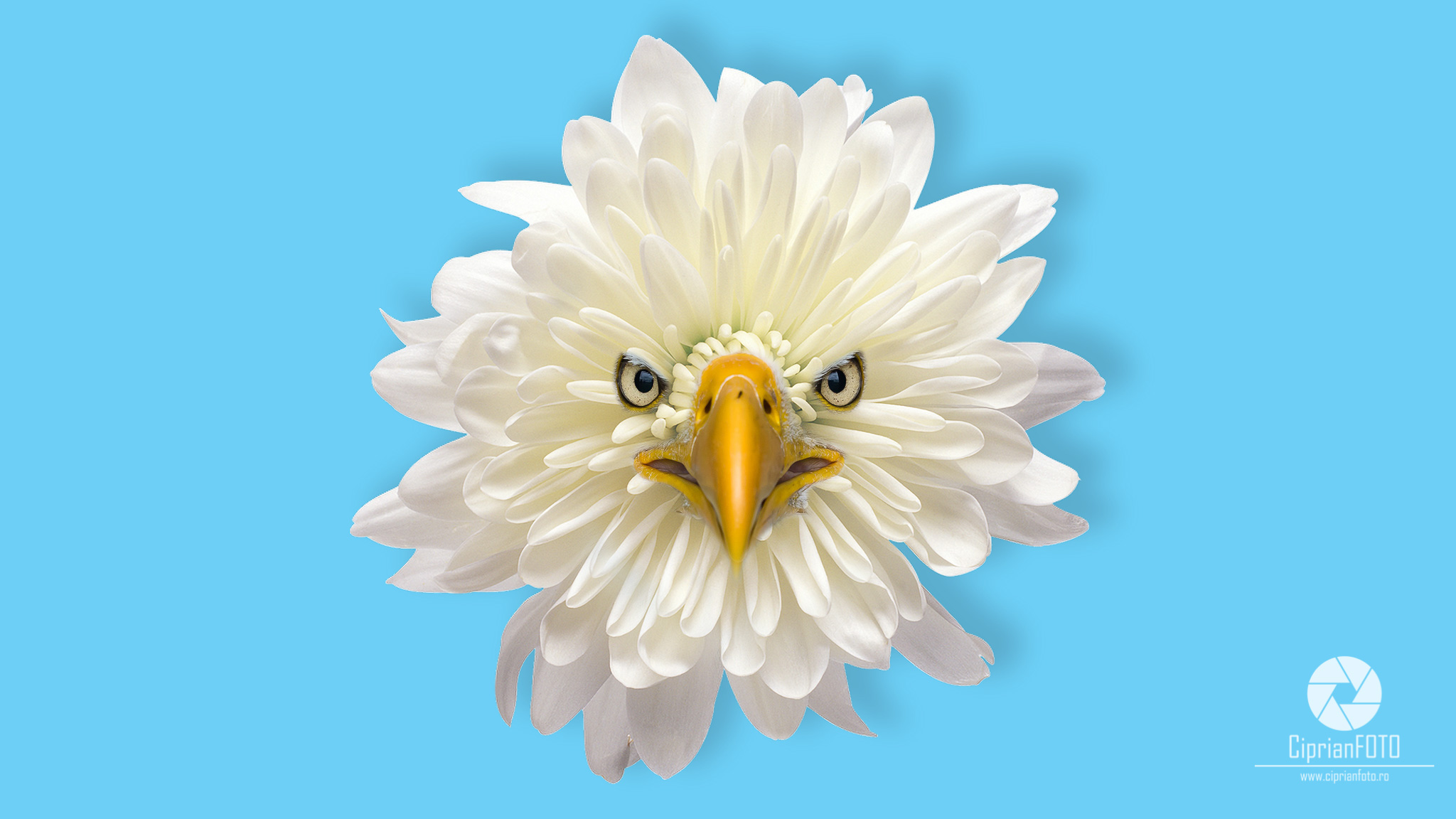 Photoshop Tutorial, Floral Bird, Chrysanthemum Bald Eagle, Chrysanthemum, Bald Eagle, CiprianFOTO, Photoshop Tutorial Ideas